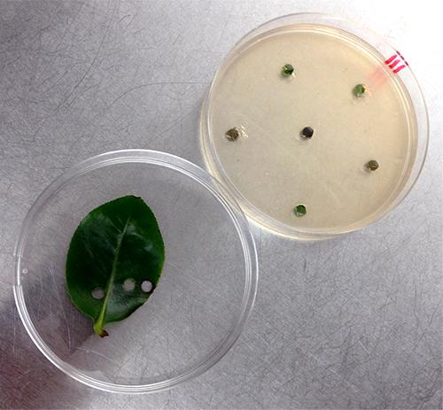 forest pathology phytophthora 14