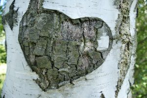 Hart shaped carving in birch tree. Photo.